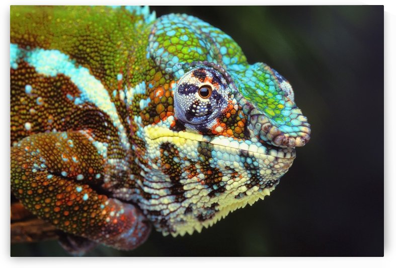 Male panther chameleon (furcifer pardalis);British columbia canada by PacificStock