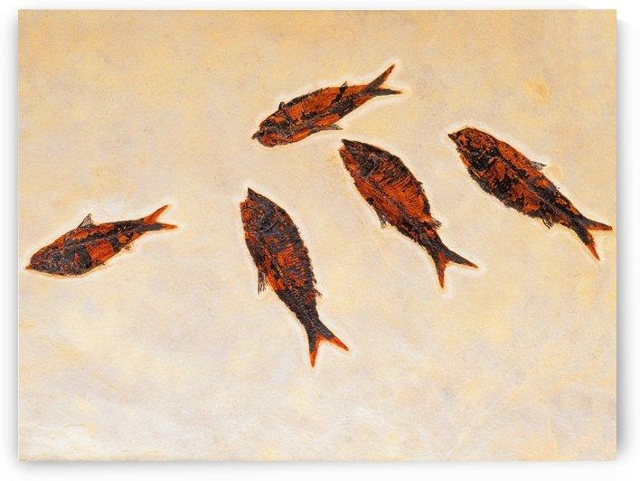 Fossilized fish;British columbia canada by PacificStock
