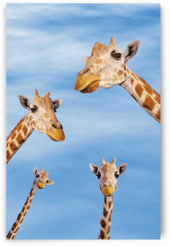 Four giraffes looking downward;Africa by PacificStock