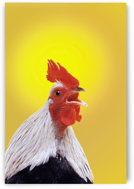 Crowing rooster;British columbia canada by PacificStock
