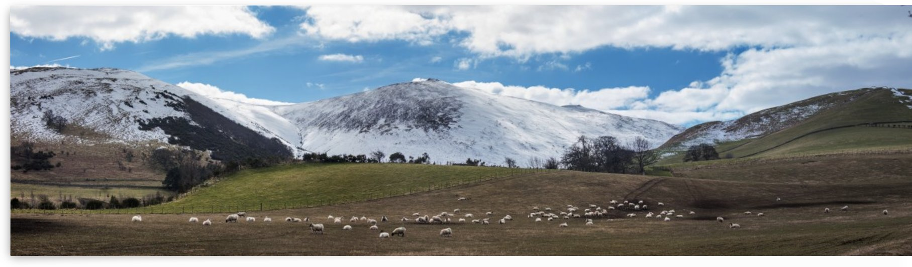 Sheep grazing in a field with snow covered mountains in the background;Northumberland England by PacificStock