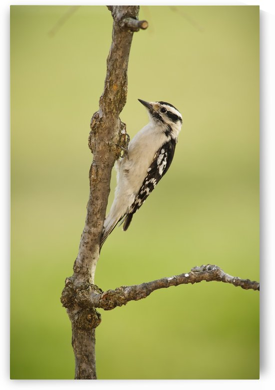 Female downy woodpecker on a tree branch;Ohio United States of America by PacificStock