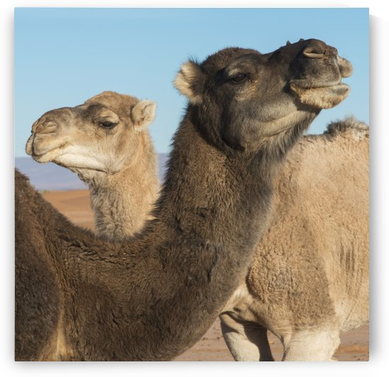 Two camels and a blue sky by PacificStock