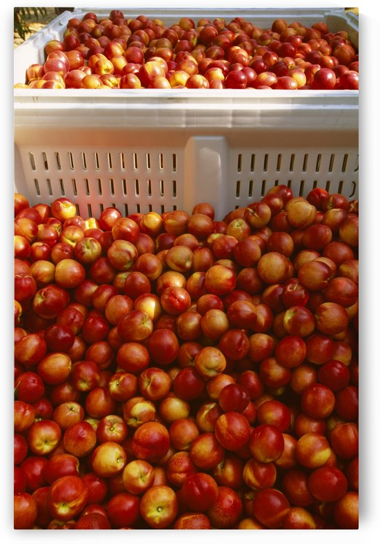 Agriculture - Freshly harvested ripe nectarines in field bins / San Joaquin Valley, California, USA. by PacificStock