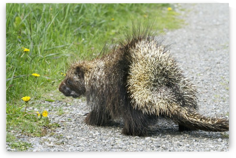 Porcupine (Erethizon Dorsatum) Crossing A Trail, Forillon National Park; Quebec, Canada by PacificStock