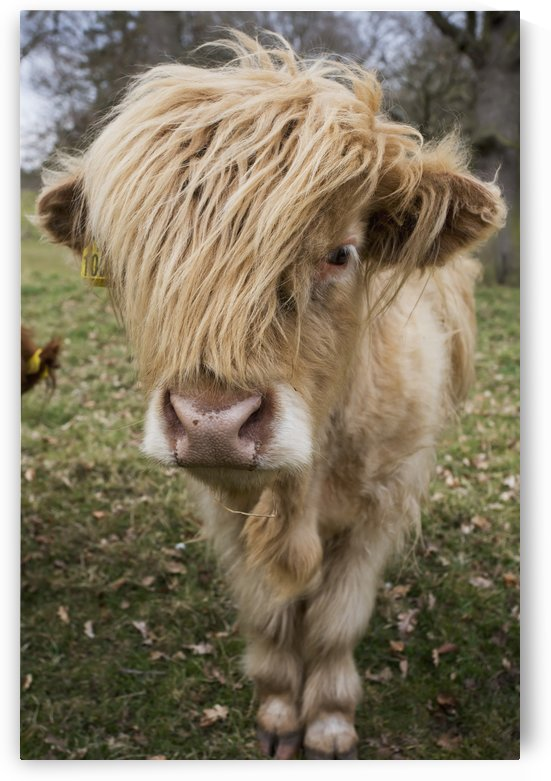 Cow With Long Hair Over It's Face; Scottish Borders, Scotland by PacificStock