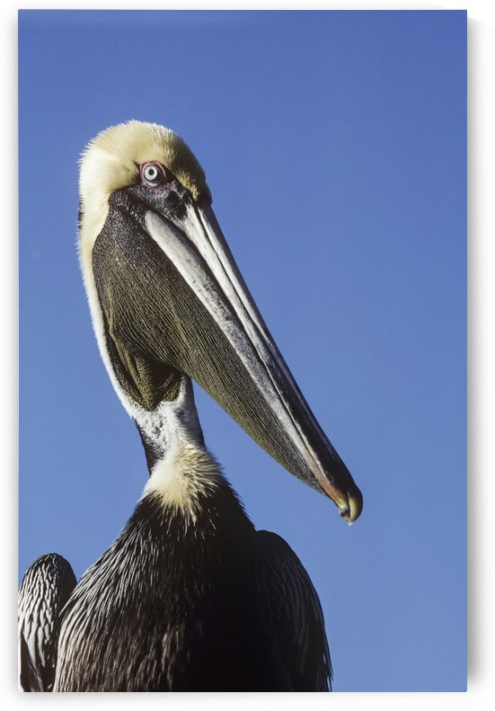 A Brown Pelican (Pelecanus Occidentalis) Poses For A Picture; Homestead, Florida, United States Of America by PacificStock