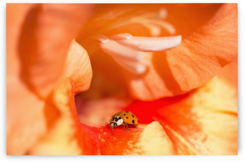 A Ladybug Beetle Searches For Prey In A Gladiolus Blossom; Astoria, Oregon, United States Of America by PacificStock