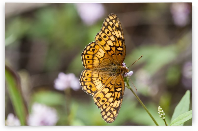 A Fritillary Butterfly Rests On A Flower; Vian, Oklahoma, United States Of America by PacificStock