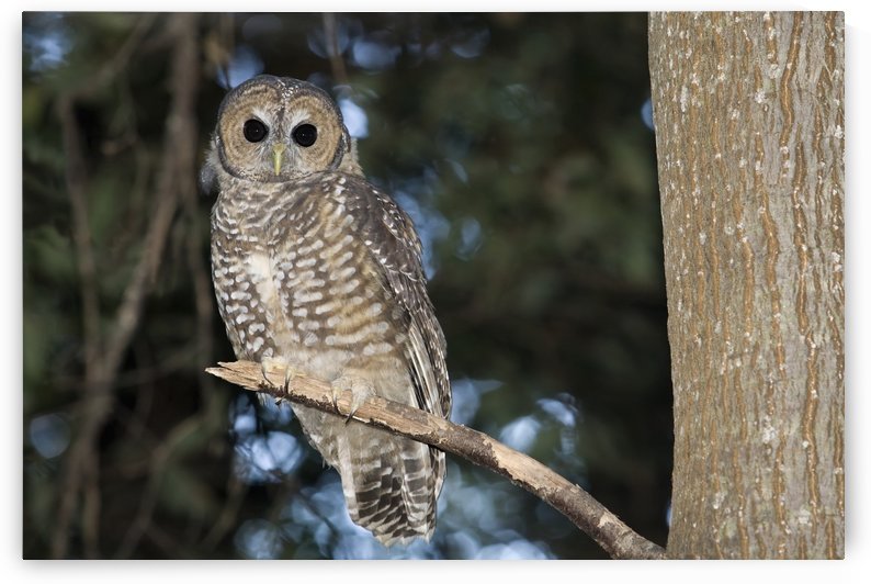 Spotted Wood Owl (Strix seloputo) in an old growth redwood forest; Big Sur, California, United States of America by PacificStock