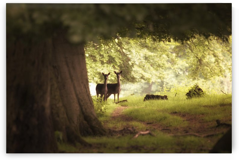 Two deer standing together under a large tree with sunlight illuminating the foliage; Yorkshire, England by PacificStock