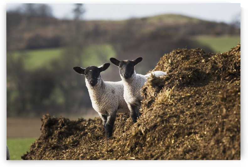 Two sheep standing together looking at the camera; Northumberland, England by PacificStock