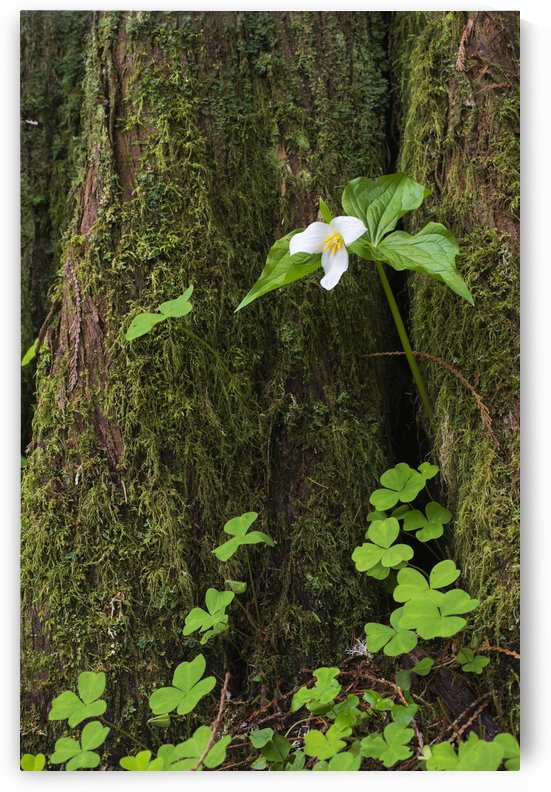 A Trillium grows from the trunk of a Western Red Cedar tree; Jewell, Oregon, United States of America by PacificStock