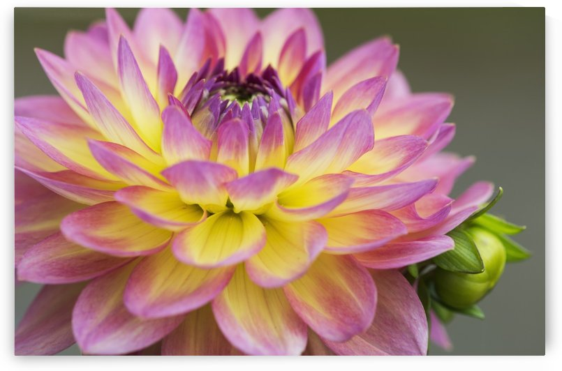 Close up of a pink and yellow dahlia; Astoria, Oregon, United States of America by PacificStock