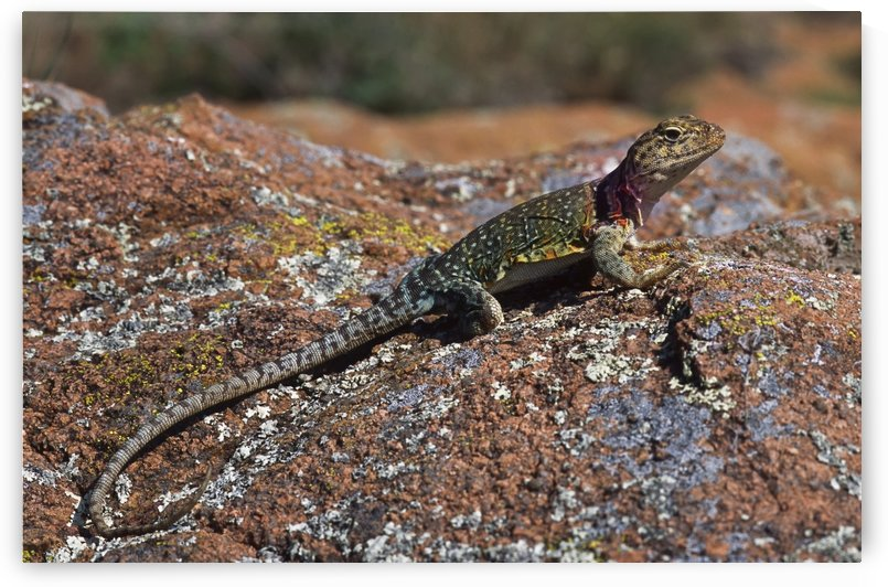 A Collared Lizard suns on a rock; Lawton, Oklahoma, United States of America by PacificStock