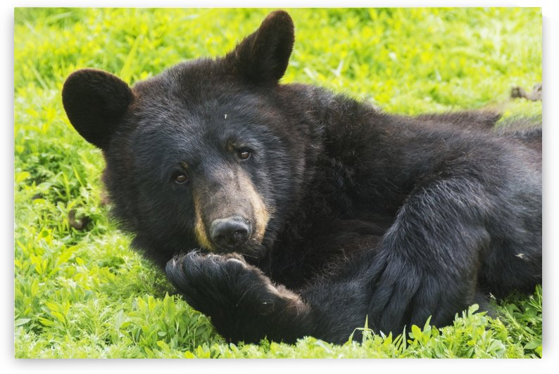 A black bear rolls around in the lush green grass by PacificStock