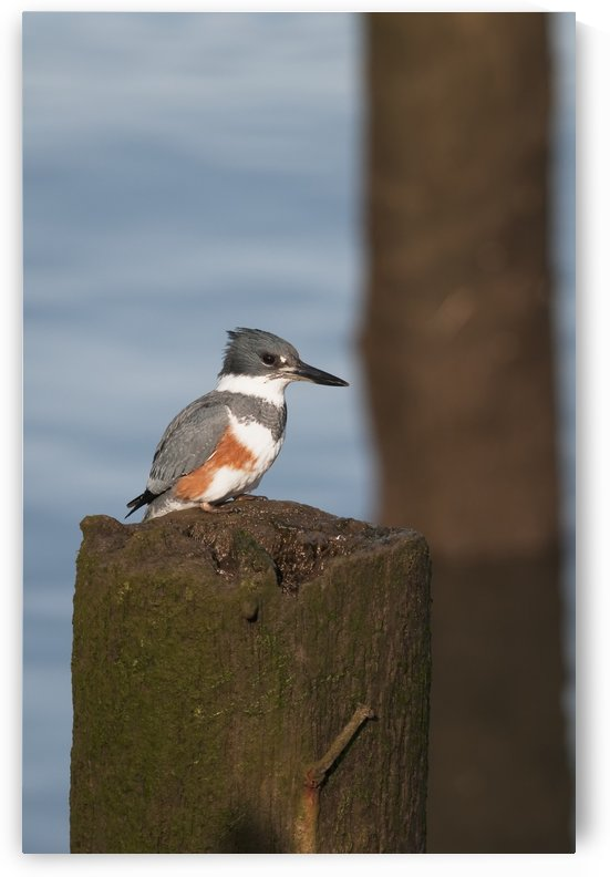 A belted kingfisher (Megaceryle alcyon) waits to dive for small fish; Astoria, Oregon, United States of America by PacificStock