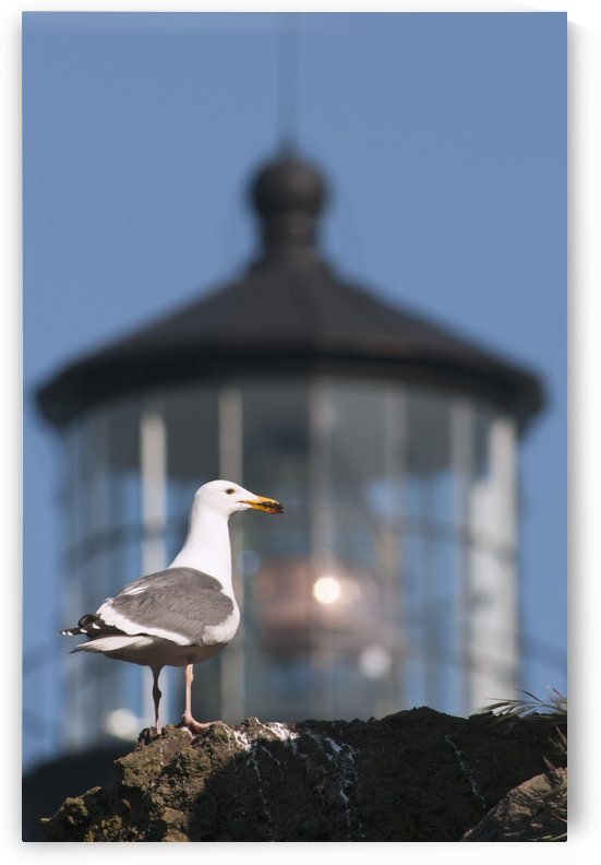 A Western Gull (Larus occidentalis) perches on a cliff at Yaquina Head; Newport, Oregon, United States of America by PacificStock