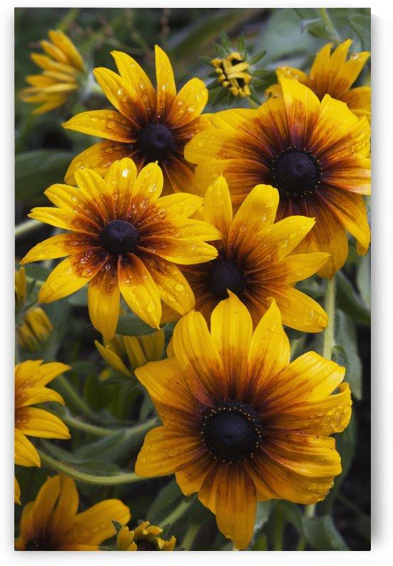 Rudbeckia blooms in a garden; Astoria, Oregon, United States of America by PacificStock