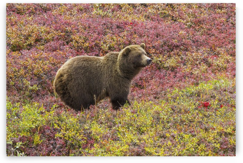 Close up of a grizzly bear (ursus arctos horribilis) standing in colorful red blueberry bushes in autumn, Denali National Park; Alaska, United States of America by PacificStock