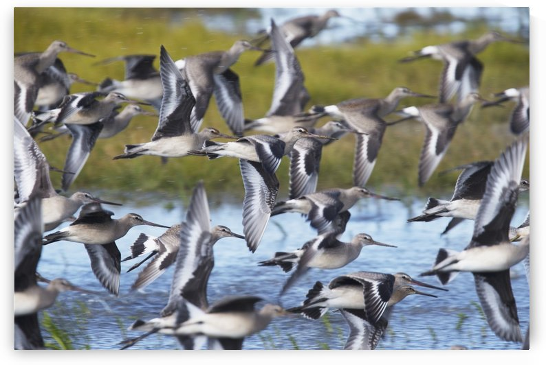 Hudsonian Godwit (Limosa haemastica) in flight; Manitoba, Canada by PacificStock