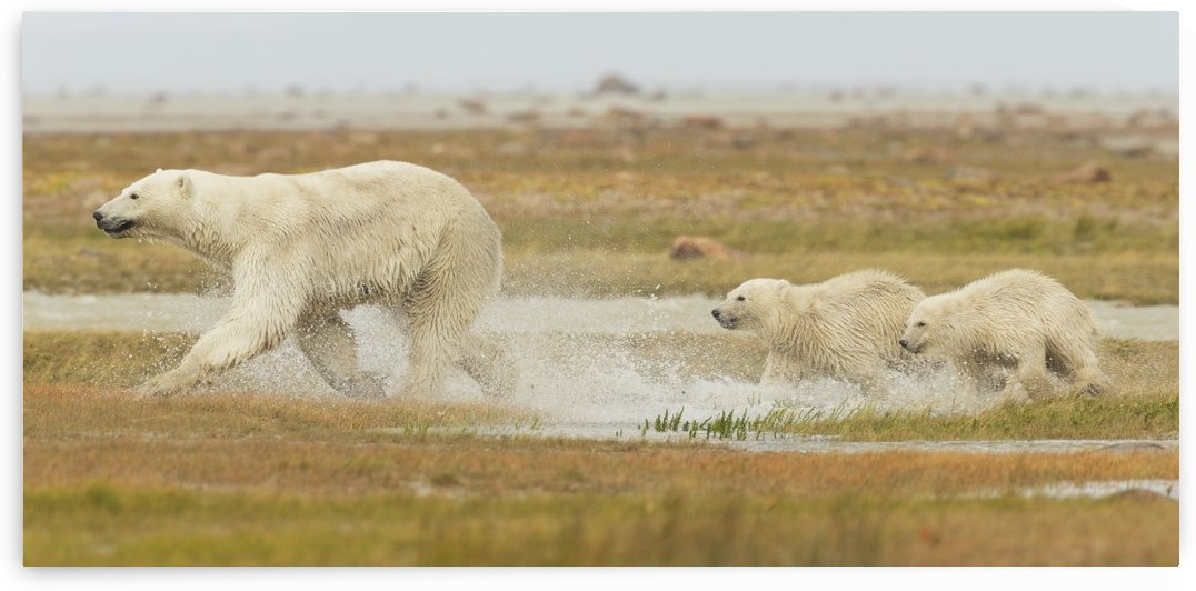 Mother polar bear (ursus maritimus) and two cubs running through the water along Hudson Bay; Manitoba, Canada by PacificStock