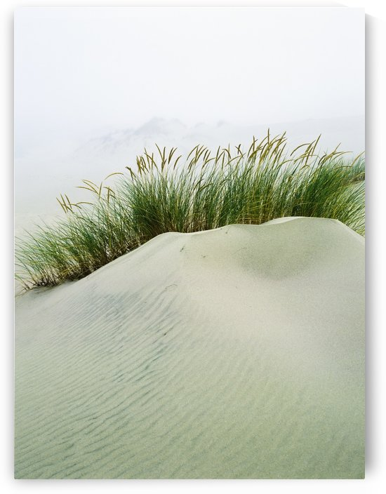 Grass on the sand dunes with fog reducing visibility in the distance; Reedsport, Oregon, United States of America by PacificStock