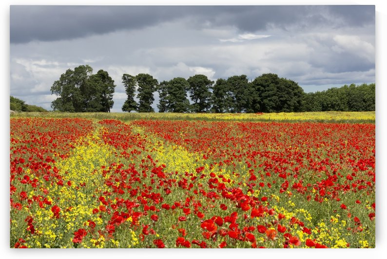 A field with an abundance of red and yellow flowers; Northumberland, England by PacificStock