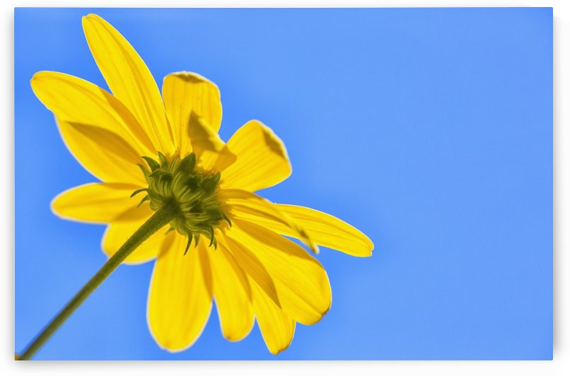 Yellow flower against a blue sky; Bolivia by PacificStock