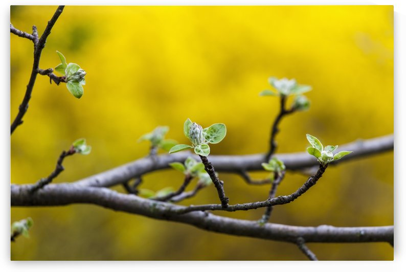 Apple flower buds against a yellow background; Toronto, Ontario, Canada by PacificStock