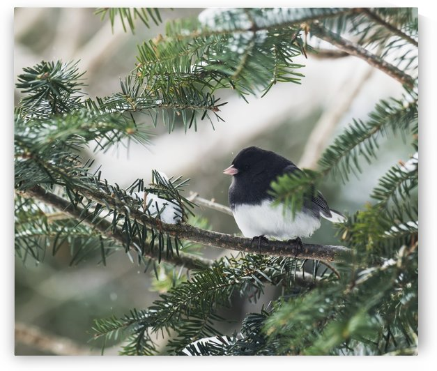 Dark-eyed junco on a spruce tree; Ontario, Canada by PacificStock