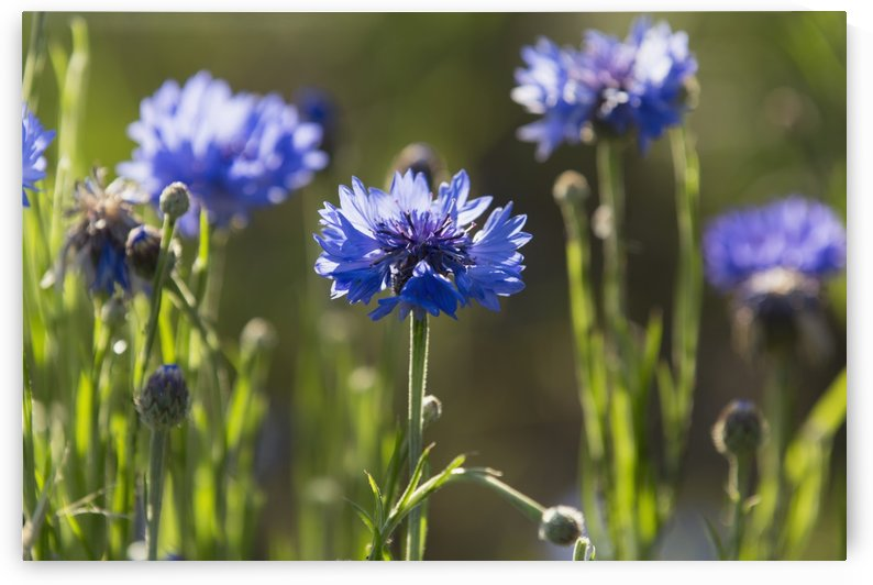 Cornflowers (Centaurea cyanus); Upper Rhine Valley, Germany by PacificStock