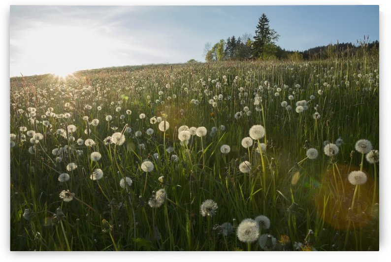 Dandelion seed heads in a field with blue sky; Saint Peter, Schwarzwald, Germany by PacificStock