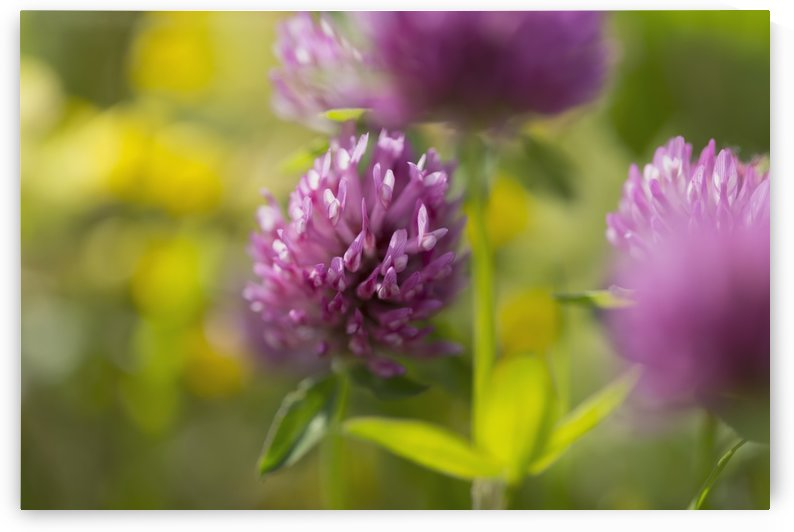 Red clover (Trifolium pratense); Black Forest, Germany by PacificStock