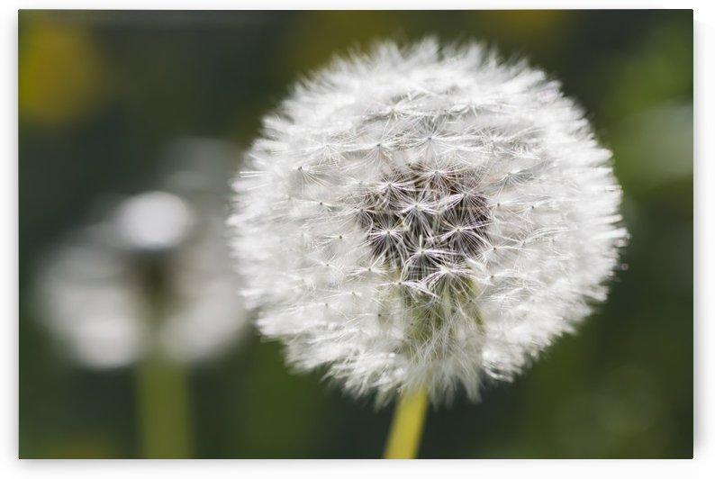 Dandelion (Taraxacum officinale); Black Forest, Germany by PacificStock