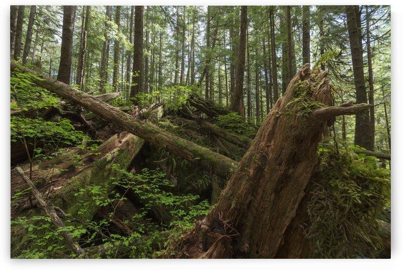 Avatar Grove; Tofino, British Columbia, Canada by PacificStock