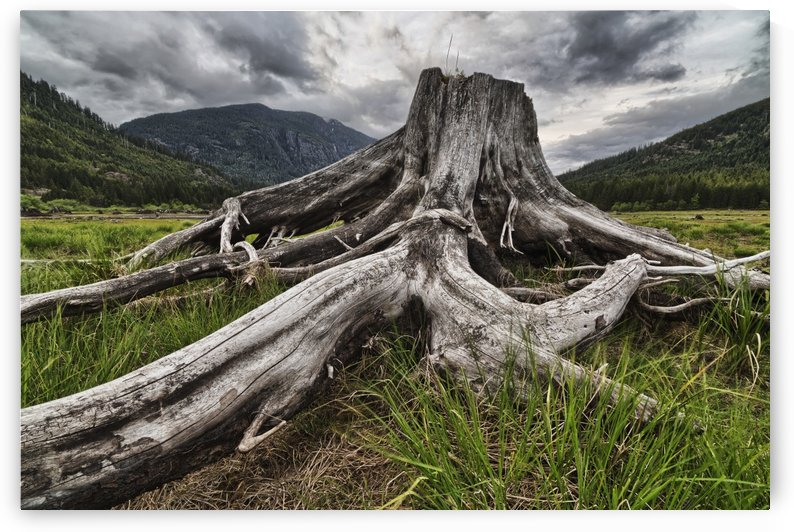 Old stump in the flood plains at the south end of Buttle Lake, Strathcona Provincial Park; British Columbia, Canada by PacificStock