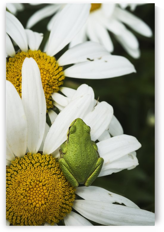 Tree frog rests on a daisy; Astoria, Oregon, United States of America by PacificStock