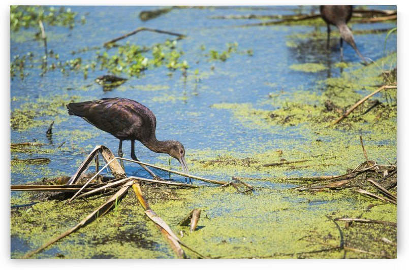 A Glossy Ibis (Plegadis falcinellus) searches for prey in a marsh; Vian, Oklahoma, United States of America by PacificStock