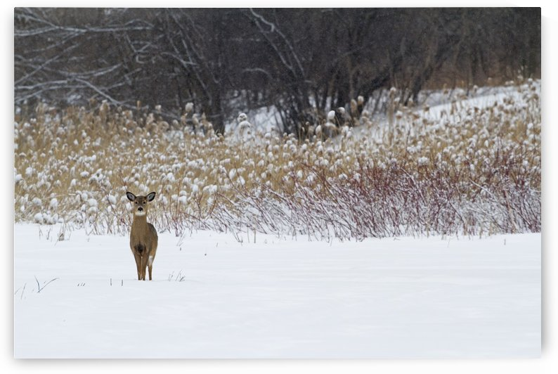 White-tailed deer (Odocoileus virginianus) standing in snow in winter; Quebec, Canada by PacificStock