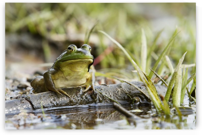 Bullfrog (Rana catesbeiana) sitting on a branch; Quebec, Canada by PacificStock