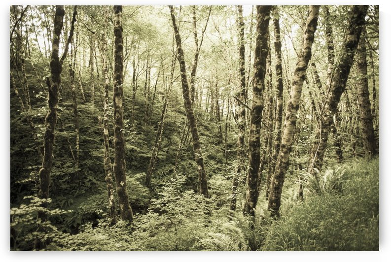 Birch trees covered in moss; Portland, Oregon, United States of America by PacificStock