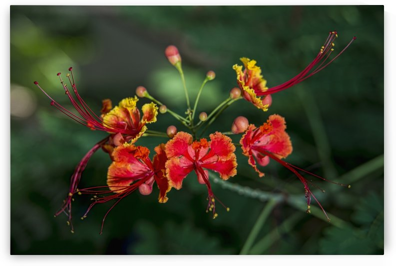 Pride of Barbados (Caesalpinia pulcherrima); Antigua, West Indies by PacificStock