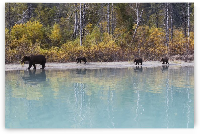 Sow Grizzly and three cubs walking along the shore of Crescent Lake, Lake Clark National Park, Southcentral Alaska, Autumn by PacificStock