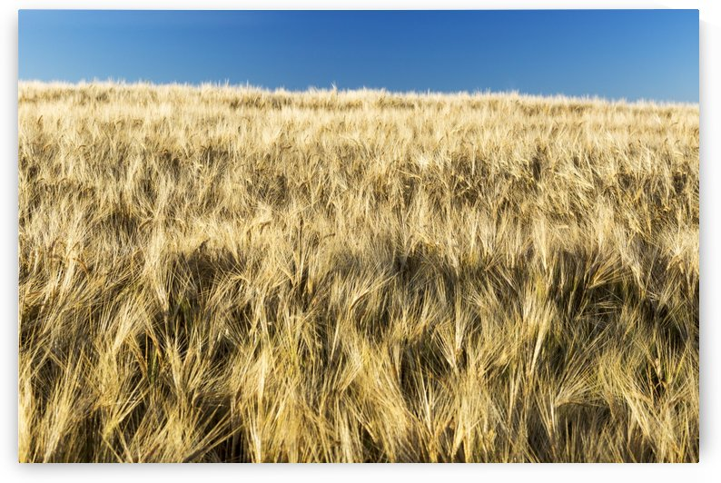 Golden barley field with blue sky; Alberta, Canada by PacificStock