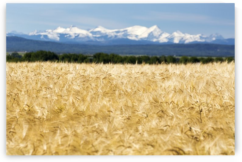 Golden barley field with a row of trees in the distance and snow covered mountains in the background with blue sky; Alberta, Canada by PacificStock