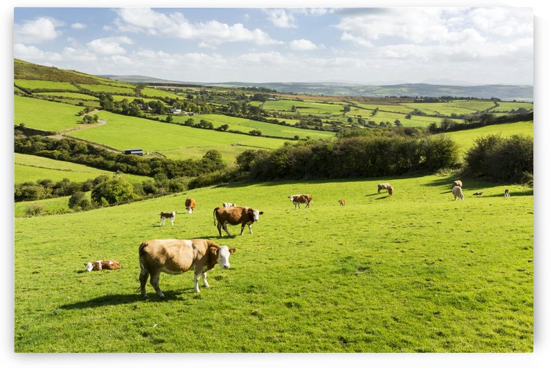 Cattle grazing on lush green hilly pastures with trees separating fields; County Kerry, Ireland by PacificStock