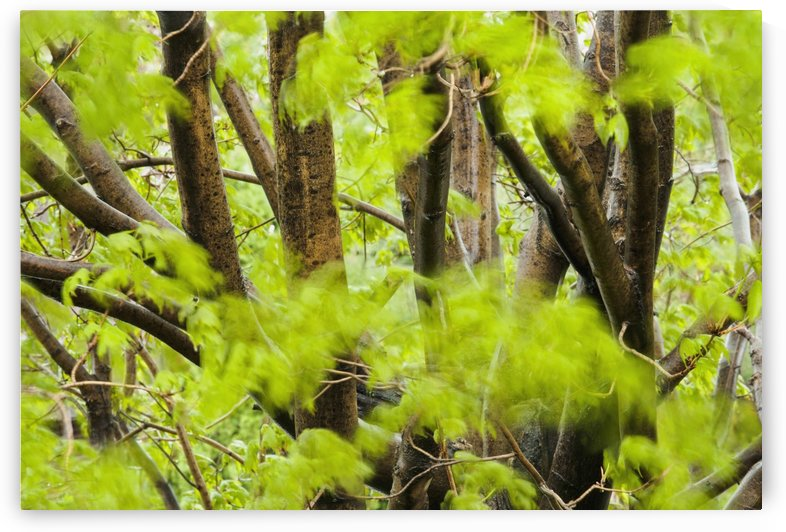 Leaves of a maple tree blurred in the wind; Quebec, Canada by PacificStock