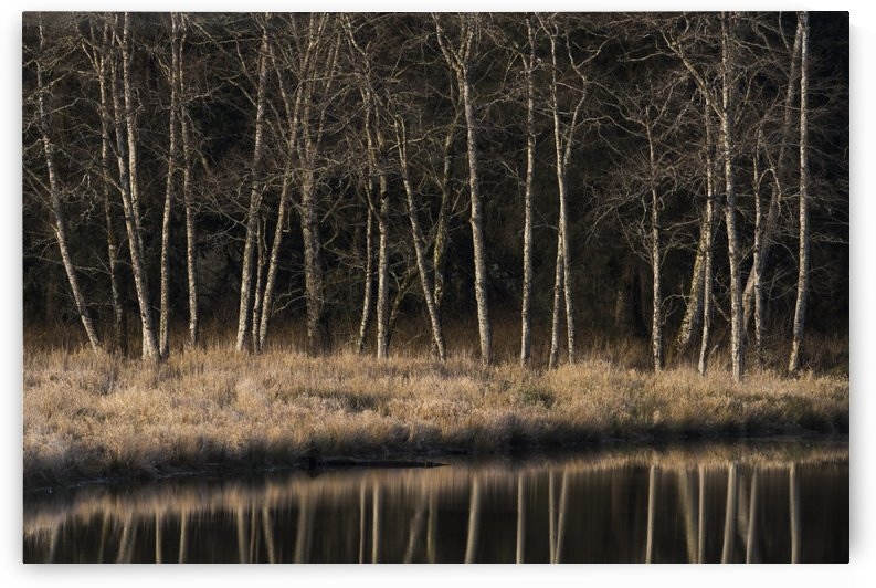 Alders reflect in water on a winter afternoon; Cathlamet, Washington, United States of America by PacificStock