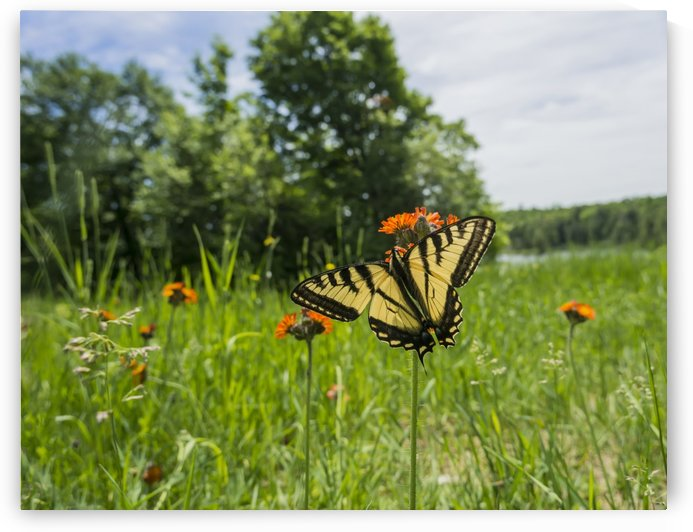 Eastern tiger swallowtail (Papilio glaucus) butterfly resting on flowers; Ontario, Canada by PacificStock